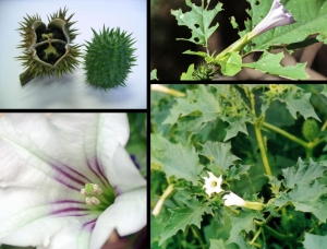 Der Gemeine oder Weiße Stechapfel Datura stramonium