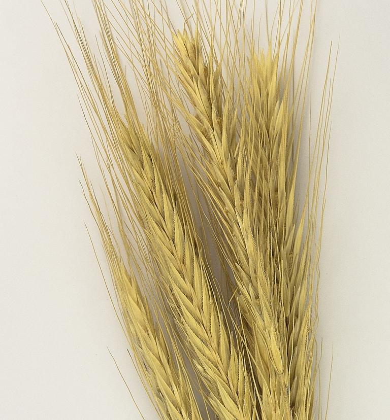 Bildquelle: https://commons.wikimedia.org/wiki/File:Secale_cereale_MHNT.BOT.2015.2.40.jpg
